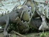 Cobra Gigante Come um Gigante Crocodilo Engolido Pela Grande Cobra Serpente Engole Crocodilo